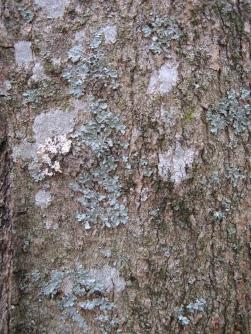 Wintergreen tree lichen2 sc