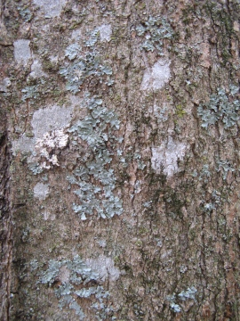 Wintergreen tree lichen2 sc
