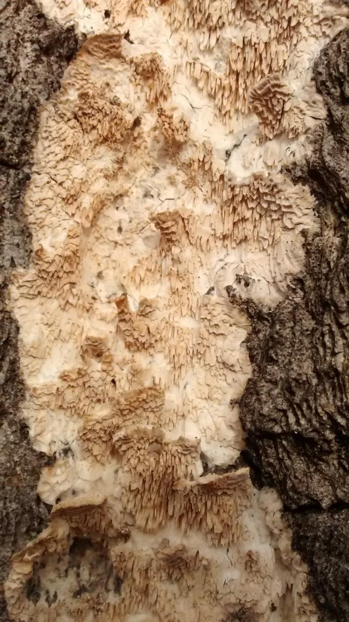 BHrock w side tree Irpex lacteus.jpg