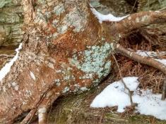 CO trail 2-4-16 lichen on river birch