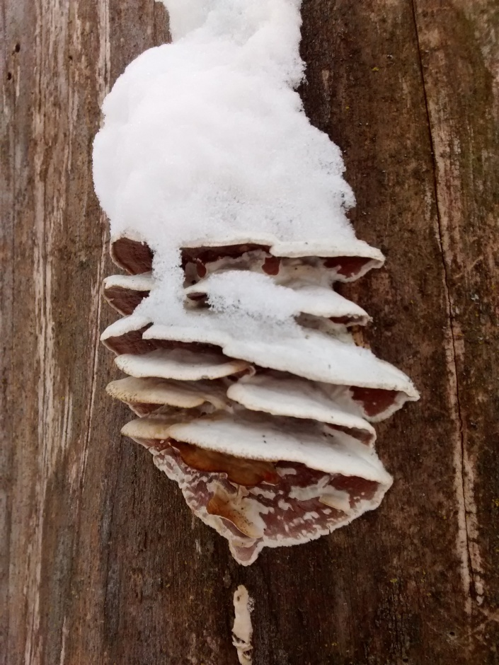 CO trail 2-4-16 tree fungus