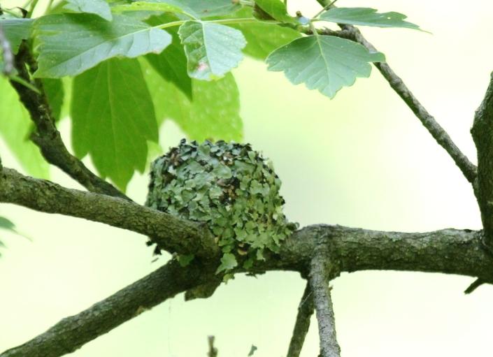 Blue gray Gnatcatcher nest 6 13 2016