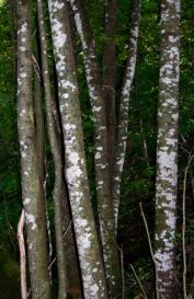 wg2-maple-whitewash-lepraria-sp