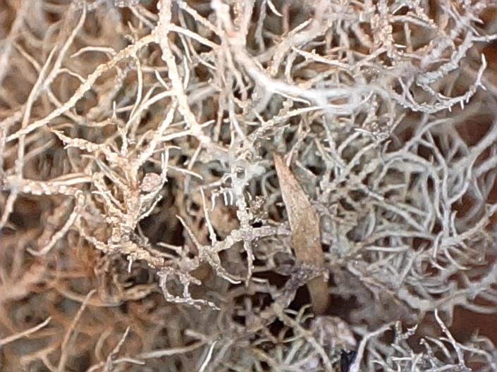 cel new lichen2