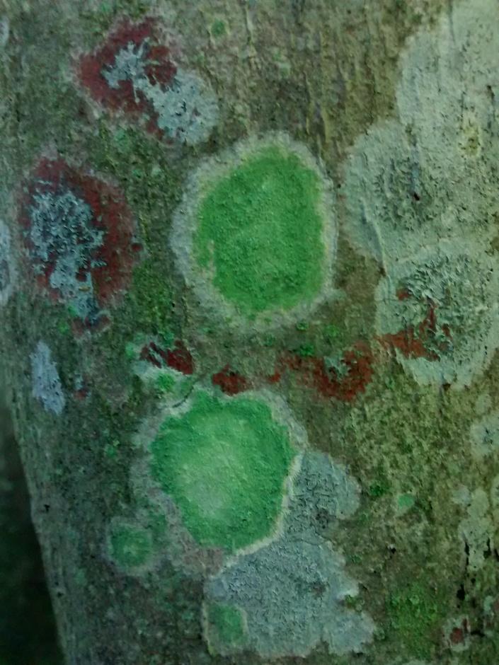 Lecanora thysanophora +HO trail 6-17