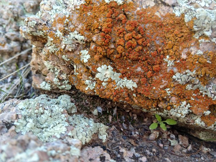 orange lichen SNP arroyo